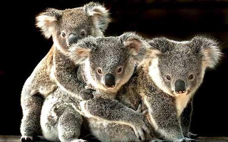 space koala Index du Forum